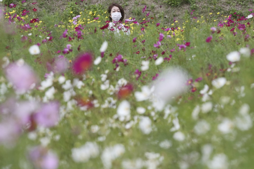 A visitor wearing a face mask to protect against the spread of the coronavirus strolls through cosmos fields at Kurihama Flower Park in Yokosuka, sout...