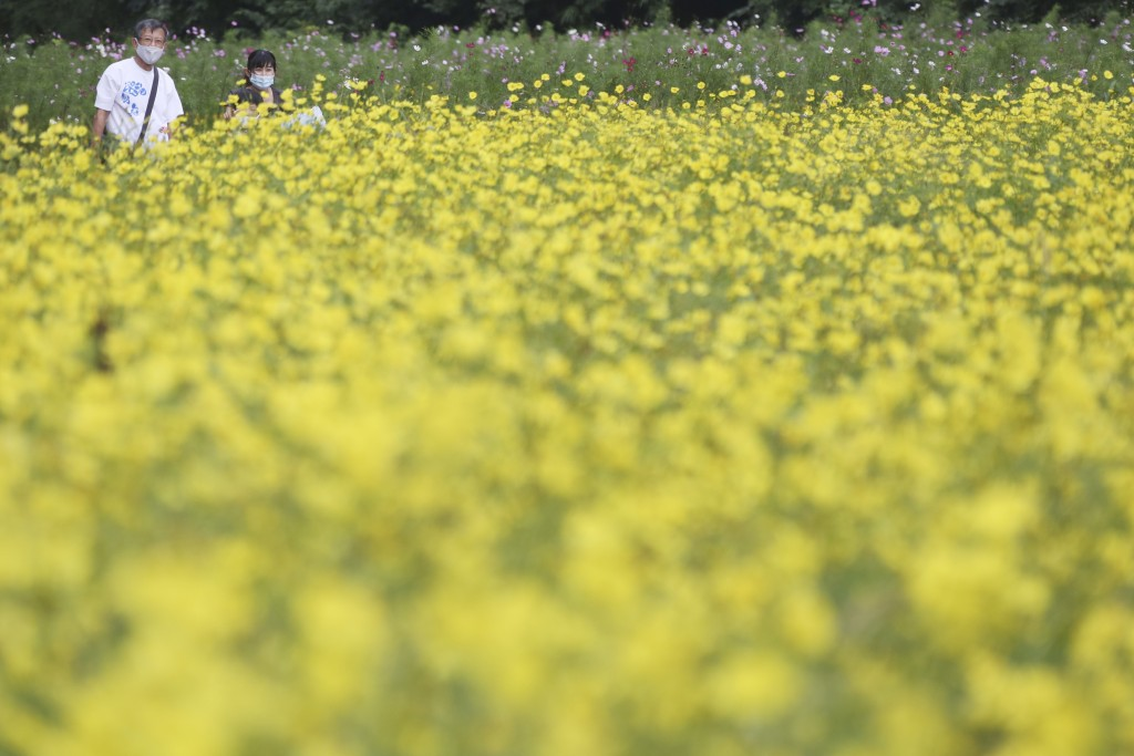 A couple wearing face masks to protect against the spread of the coronavirus strolls through cosmos fields at Kurihama Flower Park in Yokosuka, south ...