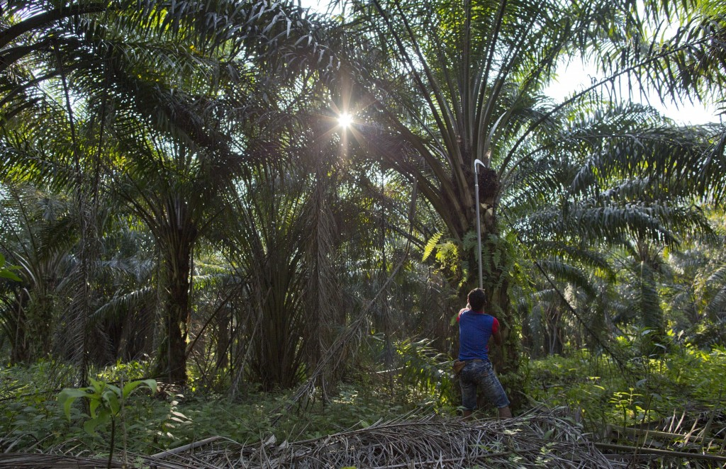A Malaysian worker harvests palm fruits from a plantation in peninsular Malaysia, on Wednesday, March 6, 2019. Though labor issues have largely been i...
