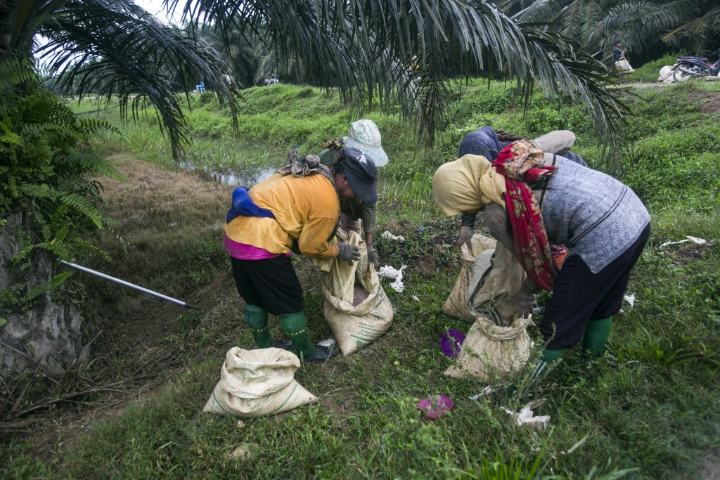 Women fill sacks with fertilizer to be spread in a palm oil plantation in Sumatra, Indonesia, Nov. 14, 2017. Many large suppliers have pledged to root...