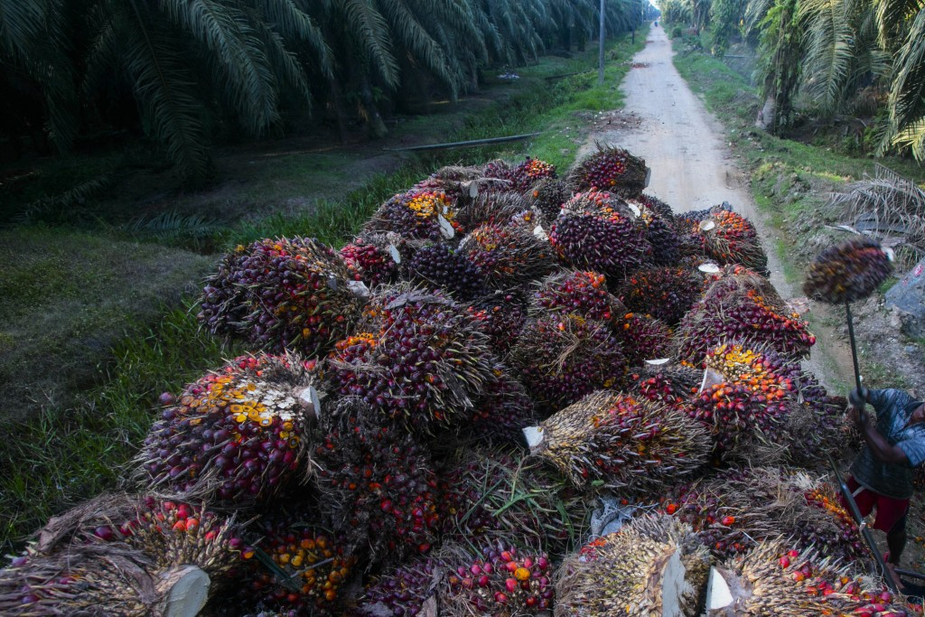 Workers load palm oil fruit weighing up to 50 pounds (22 kilograms) each into a truck on a palm oil plantation in Sumatra, Indonesia, Nov. 13, 2017. M...