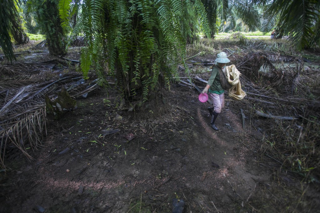 A woman spreads fertilizer in a palm oil plantation in Sumatra, Indonesia, Nov. 14, 2017. A half-century ago, palm oil was just another commodity that...