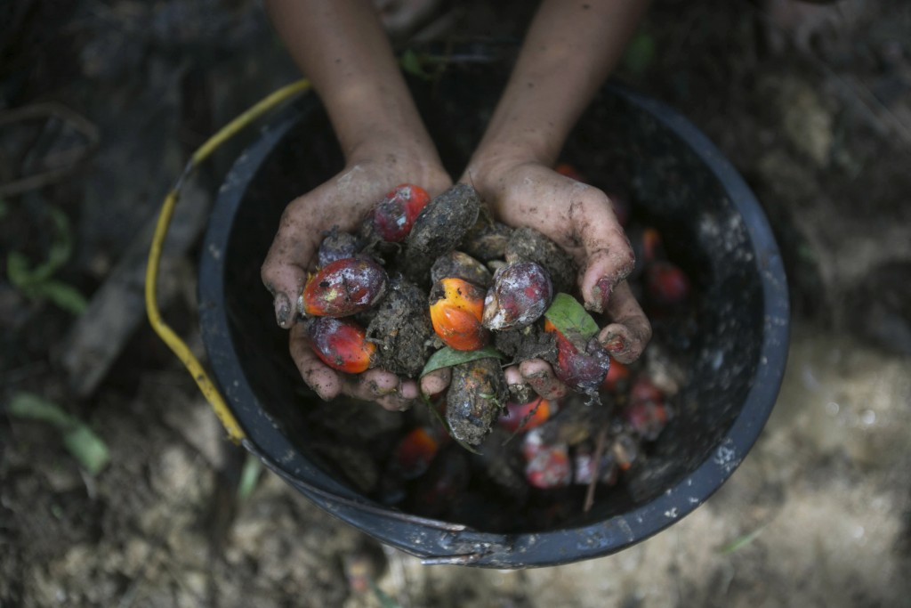 A little girl holds palm oil fruit collected from a plantation in Sumatra, Indonesia, Nov. 13, 2017. An Associated Press investigation has found many ...