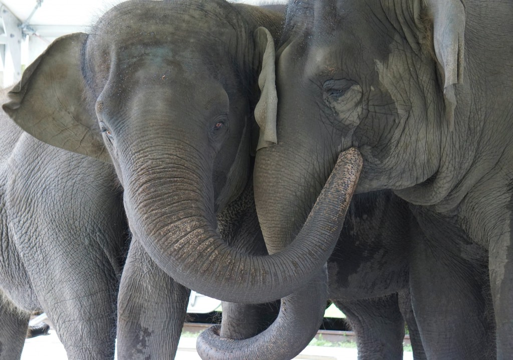 In this Sept. 2019, photo provided by the White Oak Conservation, Asian elephants, Kelly Ann, born Jan. 1, 1996, and Mable, born April 6, 2006, are se...