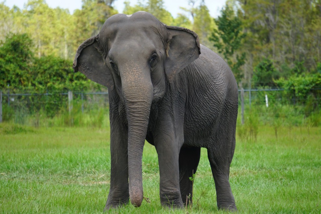 In this Sept. 2019, photo provided by the White Oak Conservation, Cora, an Asian elephant, born Dec. 3, 1965, stands at the Center for Elephant Conser...