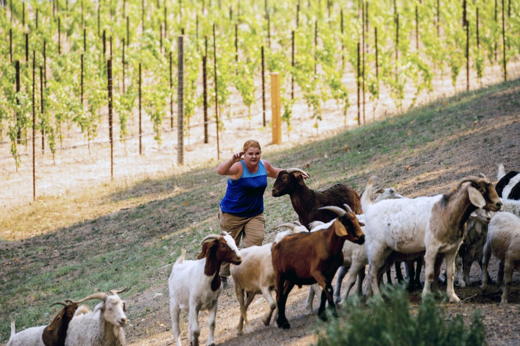 Jessica Sander rounds up goats as the Glass Fire approaches in St. Helena, Calif., on Sunday, Sept. 27, 2020. The goats had been clearing vegetation p...