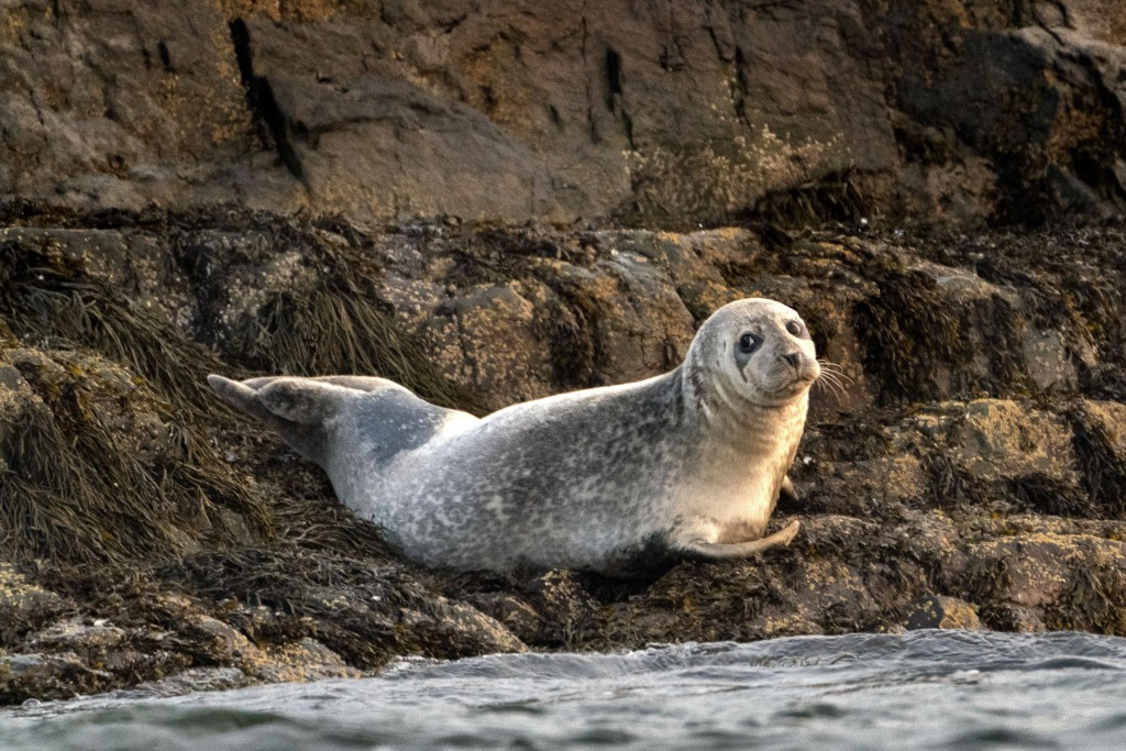 A grey seal lounges on a small island in Casco Bay, Tuesday, Sept. 15, 2020, off Portland, Maine. Grey seals were nearly killed off from New England's...