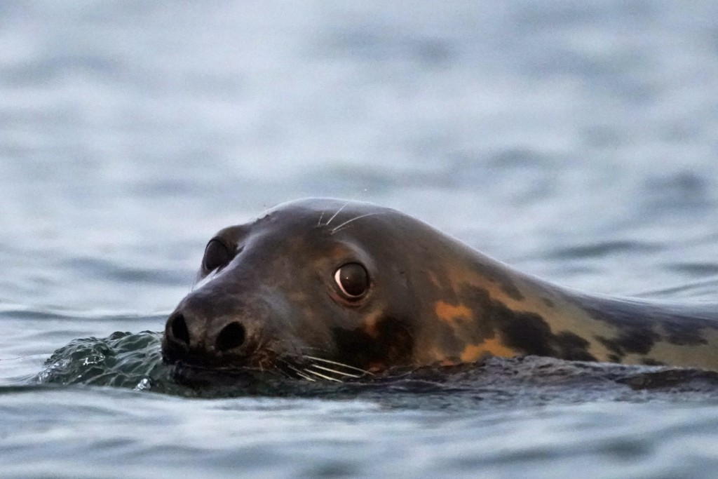A grey seal swims in Casco Bay, Tuesday, Sept. 15, 2020, off Portland, Maine. Seals, especially grey seals, are being blamed for attracting sharks and...