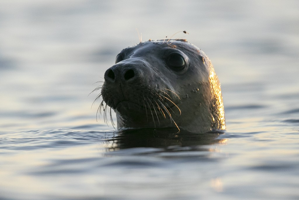 A harbor seal pokes its head out of the water in Casco Bay, Thursday, July 30, 2020, off Portland, Maine. Seals are thriving off the northeast coast t...