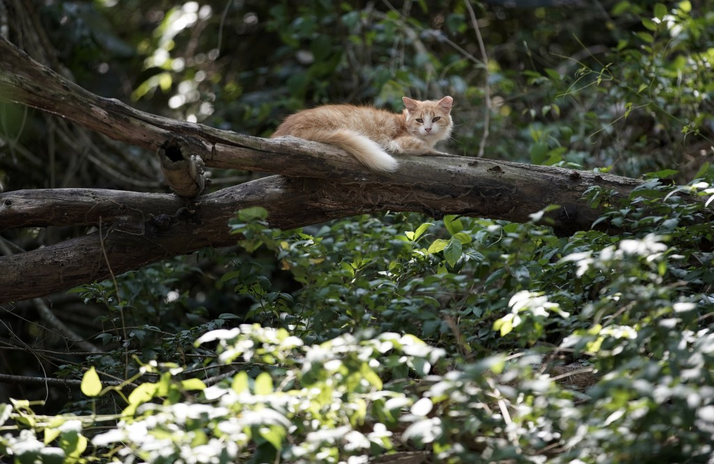 """A cat rests on a tree branch on Furtada Island, popularly known as """"Island of the Cats,"""" in Mangaratiba, Brazil, Tuesday, Oct. 13, 2020. Volunteers ar..."""