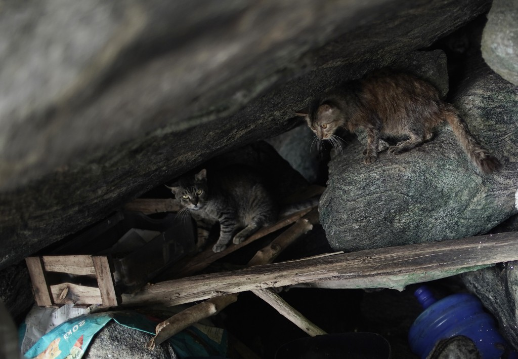 """Cats stand in a covered area of rocks on Furtada Island, popularly known as """"Island of the Cats,"""" in Mangaratiba, Brazil, Tuesday, Oct. 13, 2020. Volu..."""