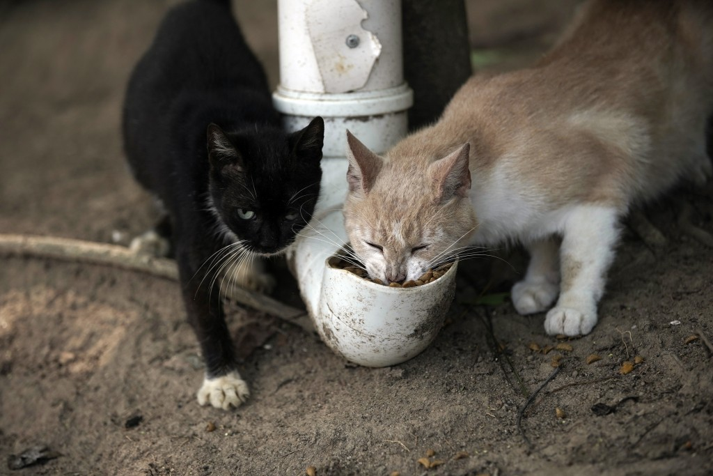 """Cats eat from a food dispenser filled up by volunteers from Animal Heart Protectors on Furtada Island, popularly known as """"Island of the Cats,"""" in Man..."""