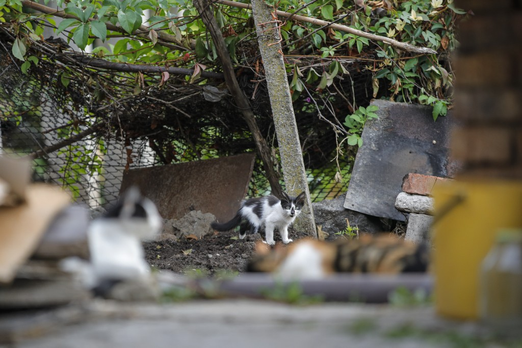 A kitten is startled in a village on the outskirts of Burgas, Bulgaria, Monday, Sept. 28, 2020. Human rights activists and experts say local officials...