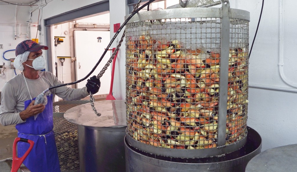 In this photo provided by the Florida Keys News Bureau, a seafood processor at Keys Fisheries in Marathon, Fla., raises a basket of stone crab claws T...