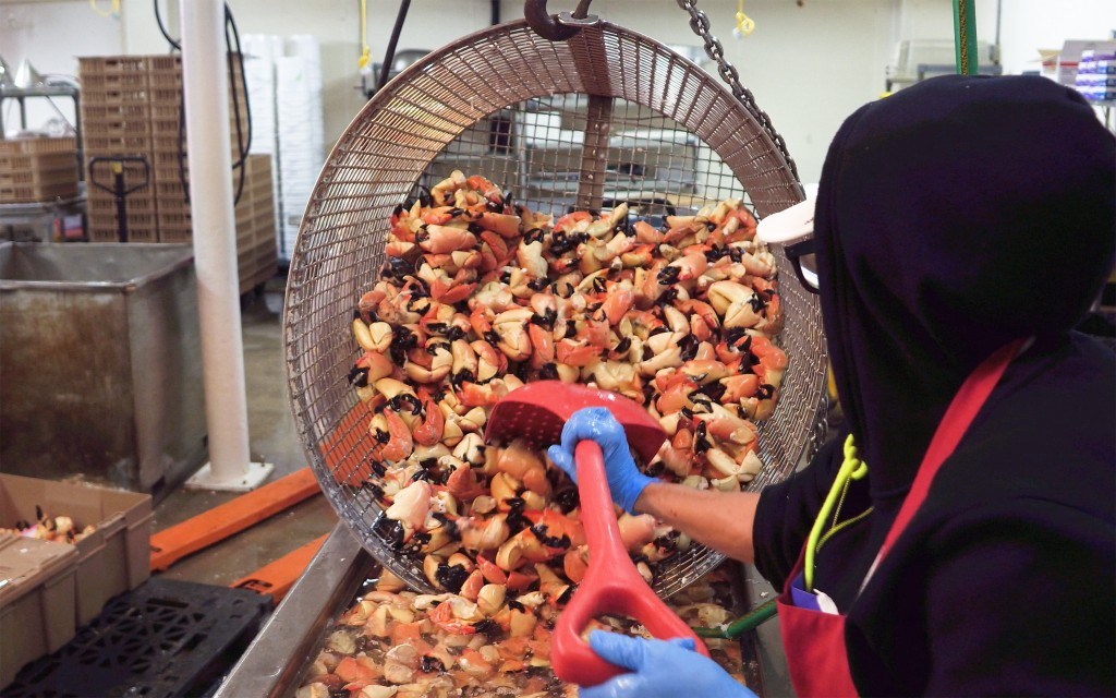In this photo provided by the Florida Keys News Bureau, a seafood processor at Keys Fisheries in Marathon, Fla., shovels stone crab claws into a conta...