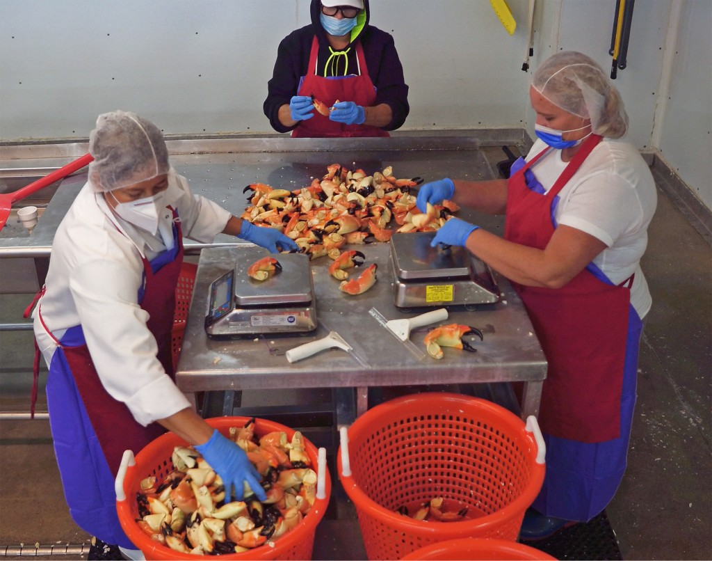 In this photo provided by the Florida Keys News Bureau, seafood processors at Keys Fisheries in Marathon, Fla., sort stone crab claws Thursday, Oct. 1...