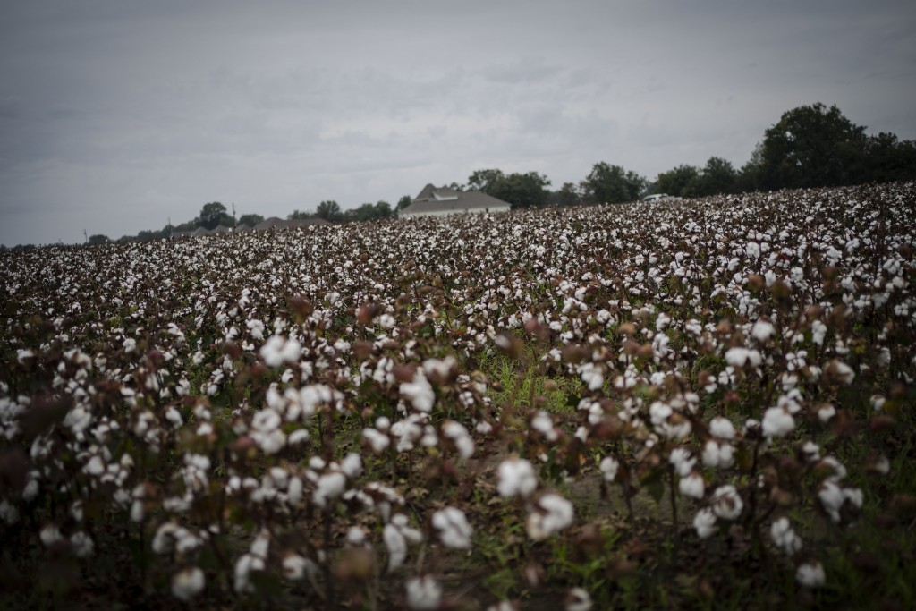A house is dwarfed against a cotton field in Yazoo City, Miss., Friday, Oct. 9, 2020.  (AP Photo/Wong Maye-E)