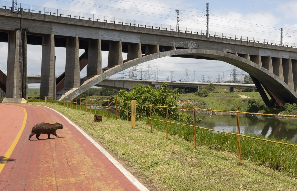 A capybara crosses a bicycle path on the banks of the Pinheiros River in Sao Paulo, Brazil, Thursday, Oct. 22, 2020. Affected by domestic sewage and s...