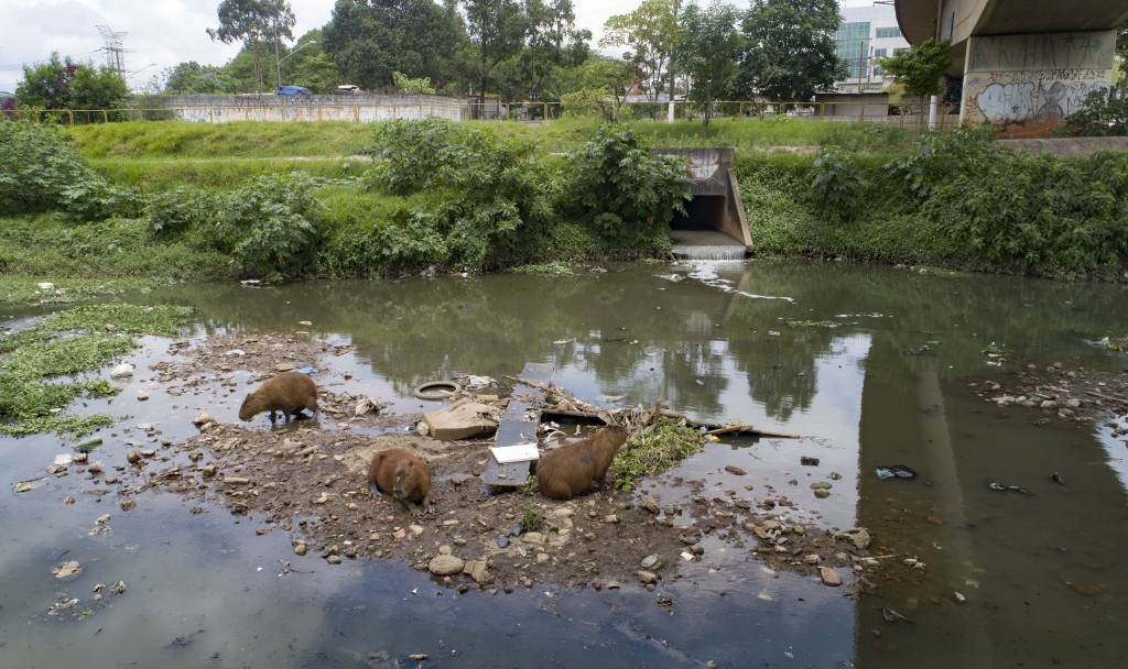 Capybaras gather near a sewage canal that flows into the Pinheiros River in Sao Paulo, Brazil, Thursday, Oct. 22, 2020. Affected by domestic sewage an...