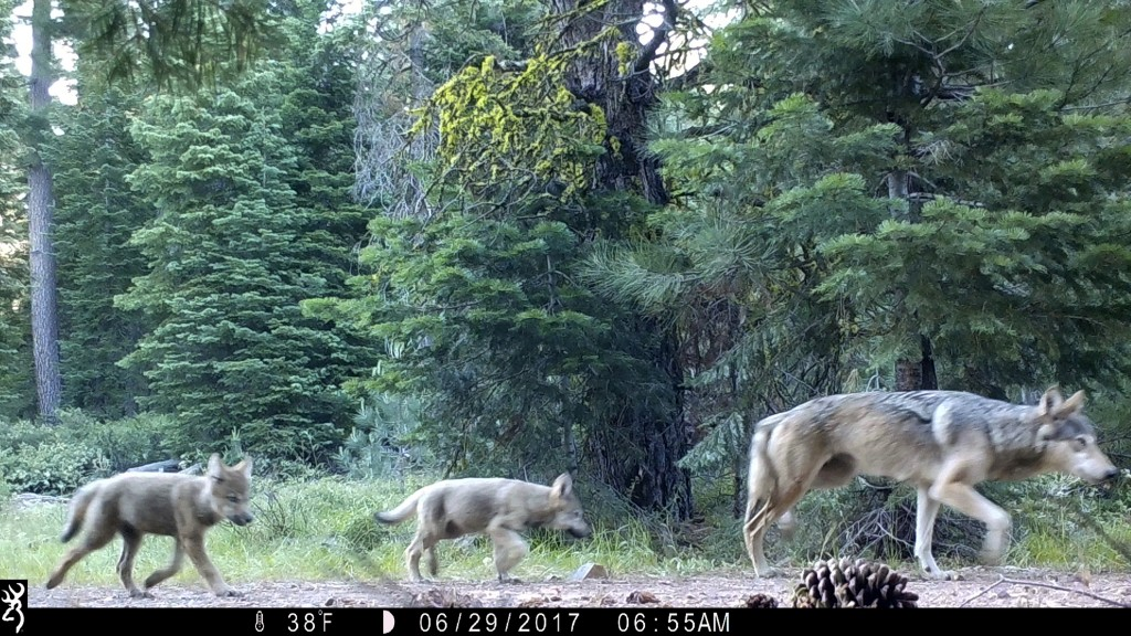 FILE - This June 29, 2017, file remote camera image provided by the U.S. Forest Service shows a female gray wolf and two of the three pups born in 201...