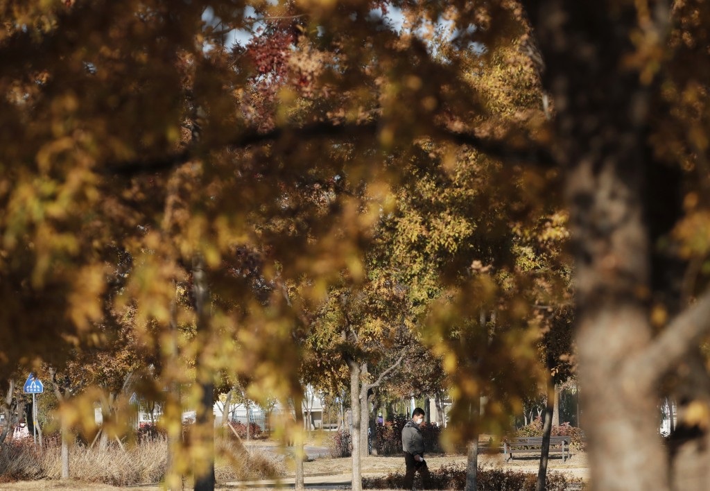 A man wearing a face mask as a precaution against the coronavirus, walks near autumn colored trees in Seoul, South Korea, Wednesday, Nov. 11, 2020. (A...