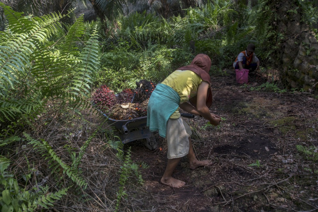 A woman helps load palm oil fruit into a wheelbarrow, navigating barefoot through the rough jungle floor in Sumatra, Indonesia, Wednesday, Feb. 21, 20...