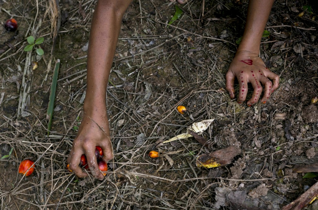 A child collects palm kernels from the ground at a palm oil plantation in Sumatra, Indonesia, Monday, Nov. 13, 2017. Children often work to help paren...