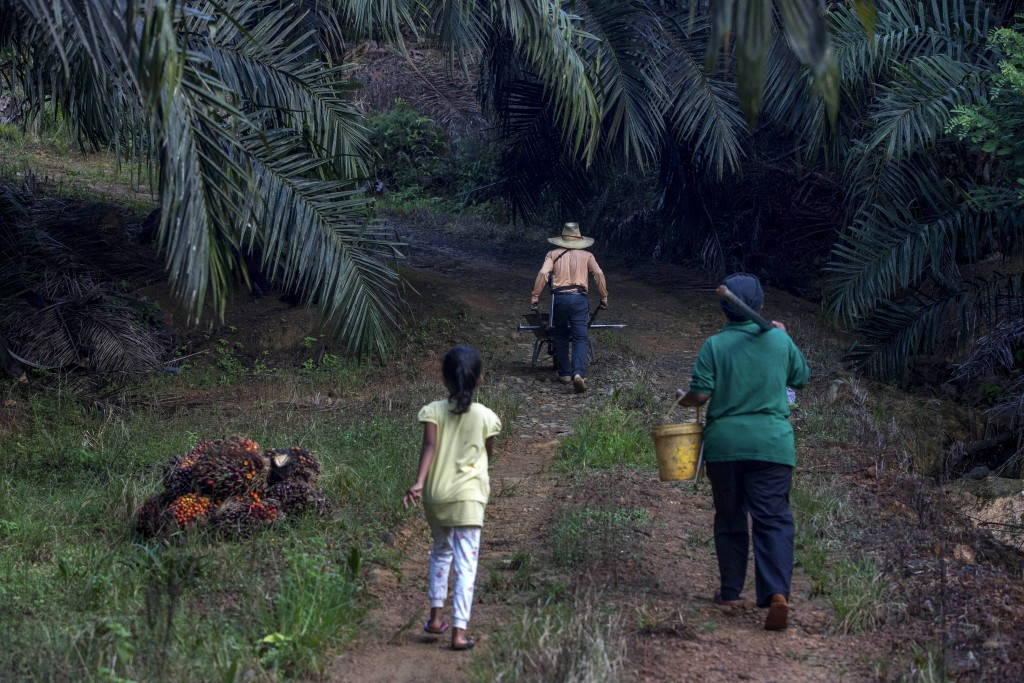 A little girl helps her parents work on a palm oil plantation in Sabah, Malaysia, Monday, Dec. 10, 2018. Many children gather loose kernels and clear ...