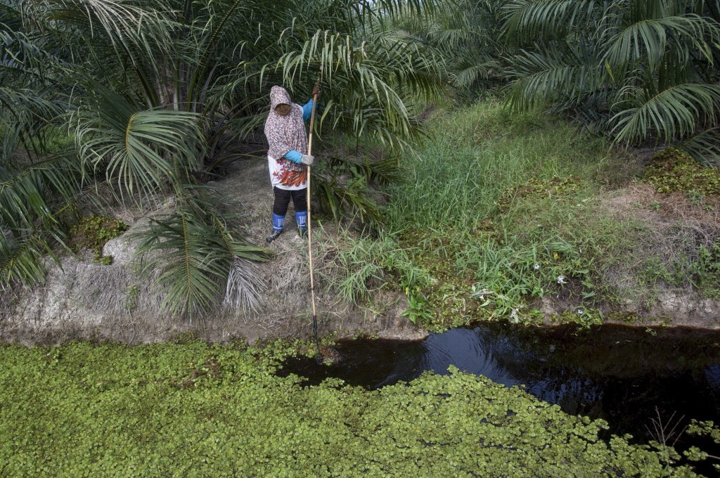 A casual worker removes floating aquatic plants from a canal in a palm oil plantation in Sumatra, Indonesia, Thursday, Feb. 22, 2018. Women sometimes ...