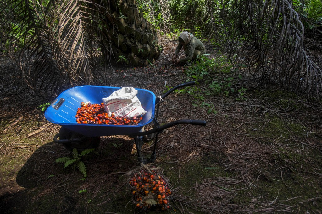 A woman collects palm kernels from the ground at a palm oil plantation in Sumatra, Indonesia, Wednesday, Feb. 21, 2018. Some female workers in palm oi...
