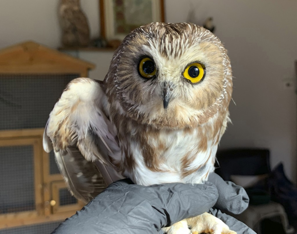 In this photo provided by the Ravensbeard Wildlife Center, Ravensbeard Wildlife Center Director and founder Ellen Kalish holds a Saw-whet owl at their...