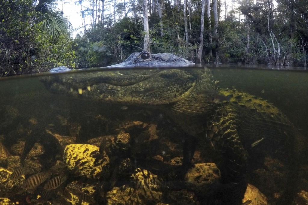 FILE - In this Oct. 30, 2019, file photo, an alligator prowls the waters in the Big Cypress National Preserve in Florida. Federal officials plan to pu...