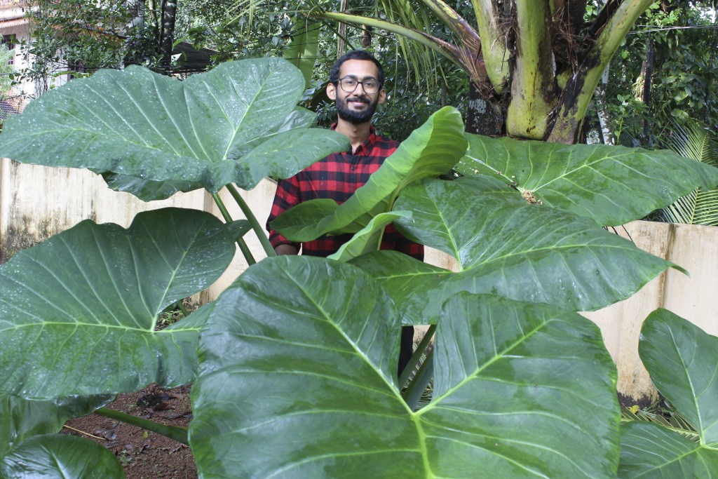 In this photo provided by Sijo Zachariah,  Zachariah stands behind an elephant ear plant on Sept. 20, 2020, on a farm that he and his father started d...