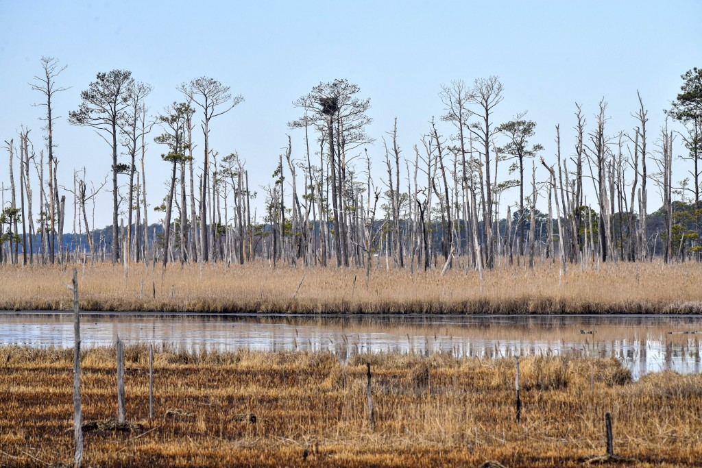This photo provided by the University of Maryland shows invading saltwater and its effect on trees from the roots up. The last to succumb at the Black...
