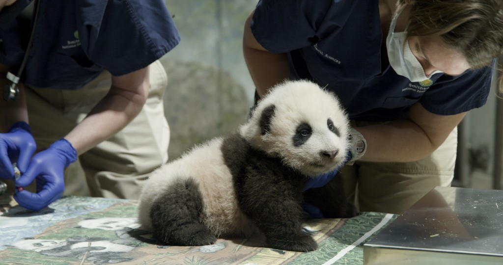 This handout photo released by the Smithsonian's National Zoo shows a panda cub named Xiao Qi Ji in Washington. More than three months after his birth...