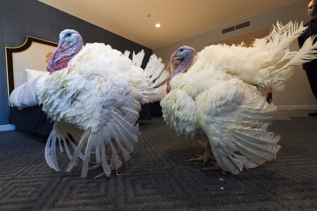 Two turkeys raised in Iowa, who will attend the annual presidential pardon, strut their stuff inside their hotel room at the Willard Hotel, Monday, No...