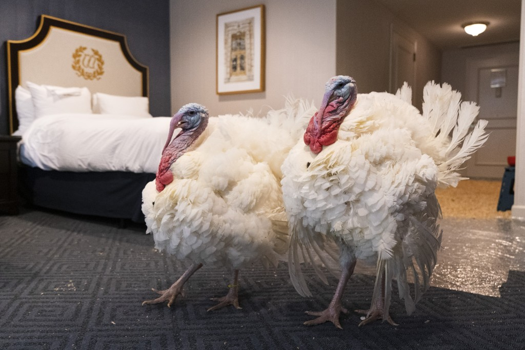 Two turkeys who will attend the annual presidential pardon, strut their stuff inside their hotel room at the Willard Hotel, Monday, Nov. 23, 2020, in ...