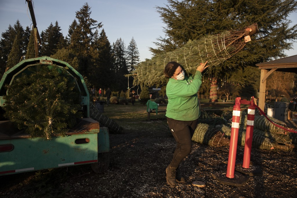 Madison Irving, an employee at Lee farms carries a freshly cut Christmas tree for a client on Saturday, Nov. 21, 2020 in Tualatin, Ore. It's early in ...