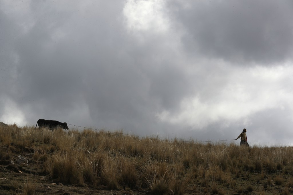 A woman leads her cow through a field in Pisac, southern rural Peru, Friday, Oct. 30, 2020. This year has also been unusually dry in some agricultural...