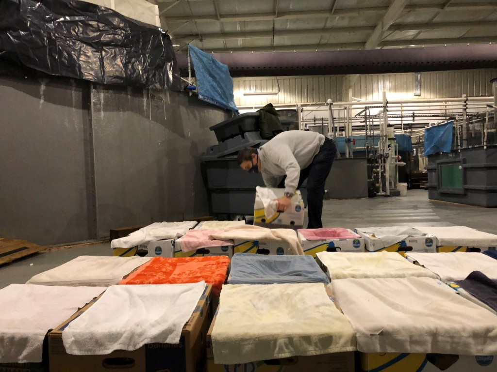 Rescued Kemp's ridley sea turtles receive care as they are prepared for transport at Tennessee Aquarium in Chattanooga, Tenn., on Wednesday, Nov. 25, ...