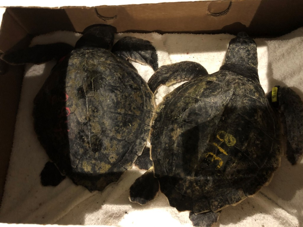 Rescued Kemp's ridley sea turtles receive care at Tennessee Aquarium in Chattanooga, Tenn., on Wednesday, Nov. 25, 2020.  Thirty endangered sea turtle...