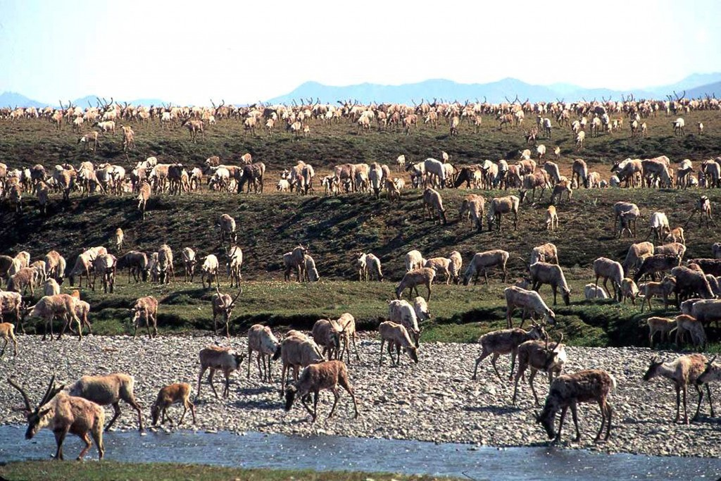FILE - In this undated file photo provided by the U.S. Fish and Wildlife Service, caribou from the Porcupine Caribou Herd migrate onto the coastal pla...