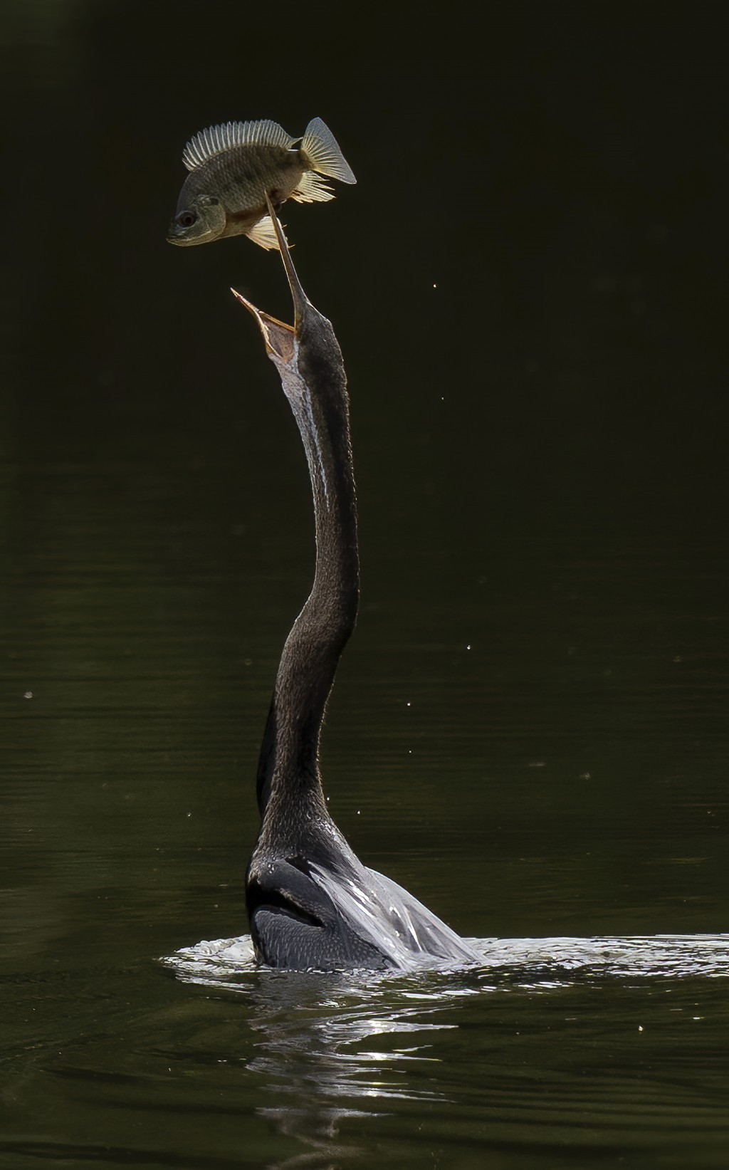 An Oriental darter (Anhinga melanogaster) tosses up its catch of a small fish at a lake outside Putrajaya, Malaysia, on Sunday, Nov. 29, 2020. (AP Pho...