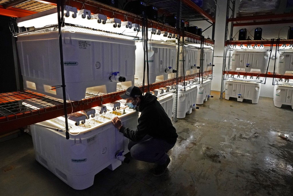Peter Crimp, kelp supply director for Atlantic Sea Farms, checks on tanks of seaweed spores growing at the company's nursery, Tuesday, Dec. 8, 2020, i...