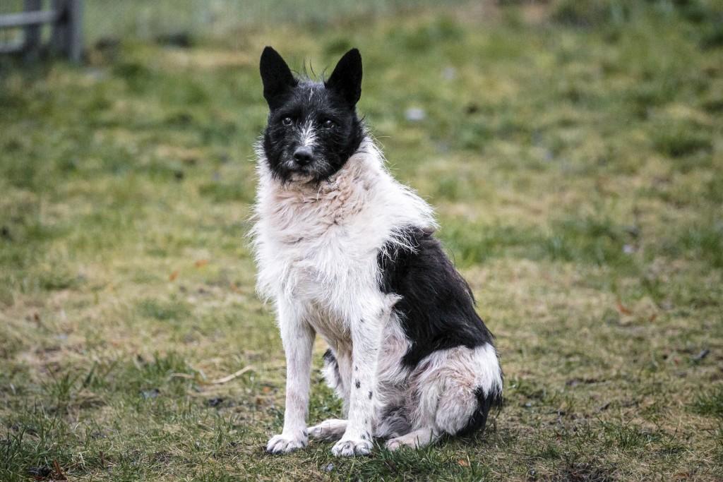 The stray dog Zorik poses for a photo at a back yard of Viktoria Ger's house, outside Tallinn, Estonia, Wednesday, Dec. 16, 2020. Viktoria Ger, who ha...