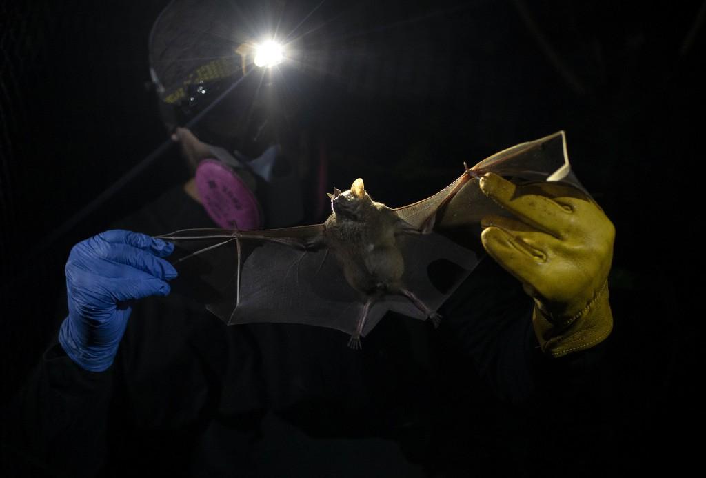 A researcher for Brazil's state-run Fiocruz Institute holds a bat captured in the Atlantic Forest, at Pedra Branca state park, near Rio de Janeiro, Tu...