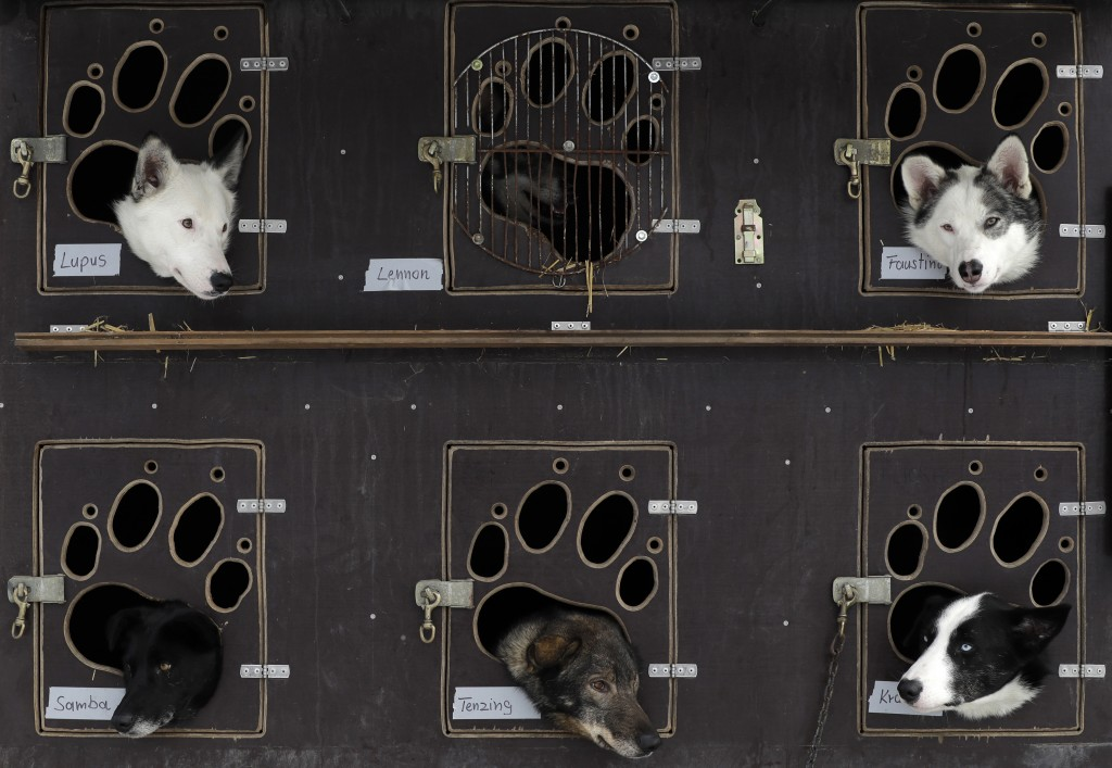 Dogs look out of their transportation box prior the start of the traditional Sedivackuv Long dog sled race near the village of Destne v Orlickych Hora...