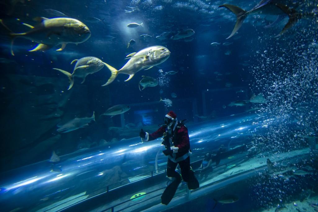 Aquarist Felipe Luna dressed in a Santa Claus costume swims inside a tank at the AquaRio aquarium in Rio de Janeiro, Brazil, Saturday, Dec. 12, 2020. ...