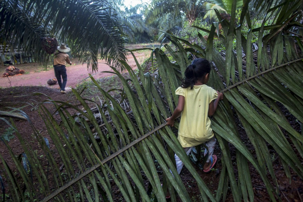 A child helps her parents work on a palm oil plantation in Sabah, Malaysia, Monday, Dec. 10, 2018. With little or no access to daycare, some young chi...