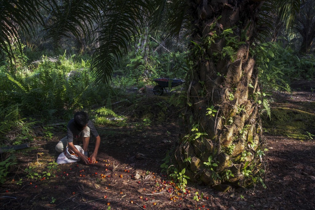 A boy collects palm kernels from the ground at a palm oil plantation in Sumatra, Indonesia, Wednesday, Feb. 21, 2018. Indonesian government officials ...
